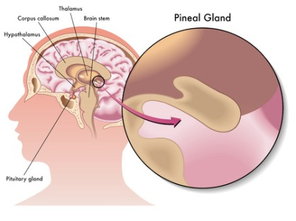 32507219 - pineal gland