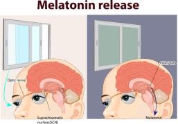 illustration of melatonin release anatomy